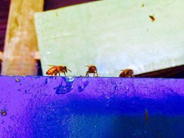 Lys blanc Volteメンバー記事 「ミツバチの世界」
